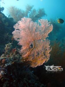 Gorgonian Menjangan Bali