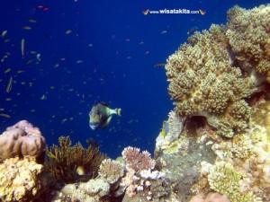 Tiger Fish Menjangan Bali