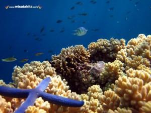 Bintang laut Menjangan Bali