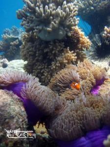Nemo di pulau lengkuas bangka belitung