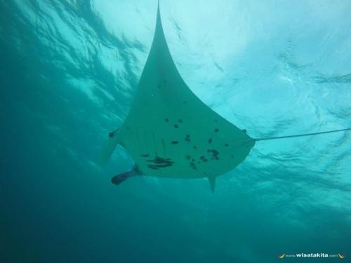 Manta Ray di spot manta pulau Sangalaki