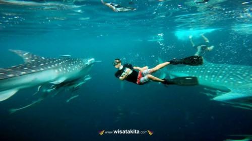 Berenang bersama whalesark di Derawan