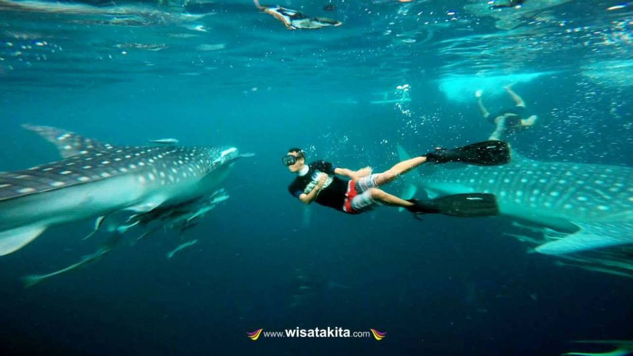 Whaleshark pulau Derawan