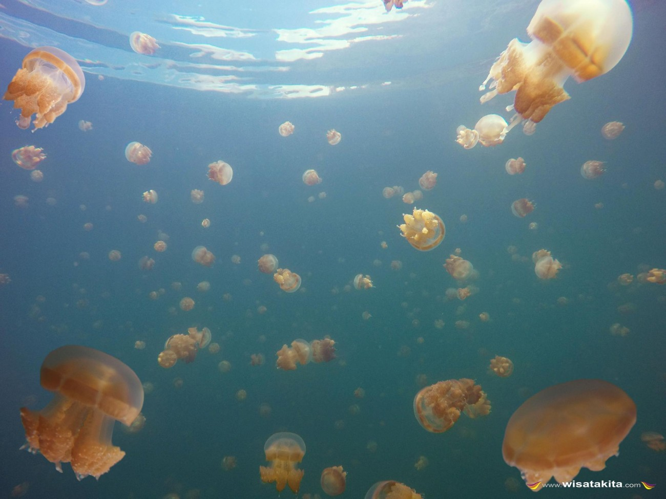 Stingless Jellyfish at Kakaban Lake