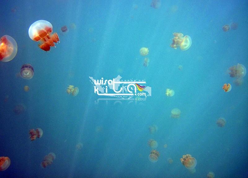 jellyfish Kakaban island