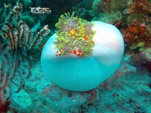 Nemo dan rumahnya di Wakatobi