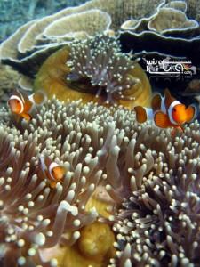 Nemo di pulau Kumbang Karimunjawa