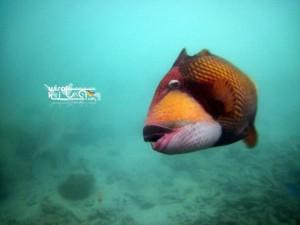 Tiger Fish Di Penangkaran Hiu Karimunjawa