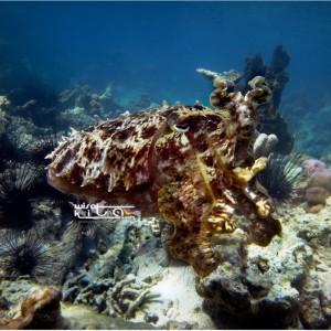 Cuttlefish(master menyamar)