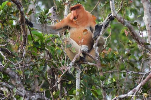 Bekantan Taman Nasional Tanjung Puting