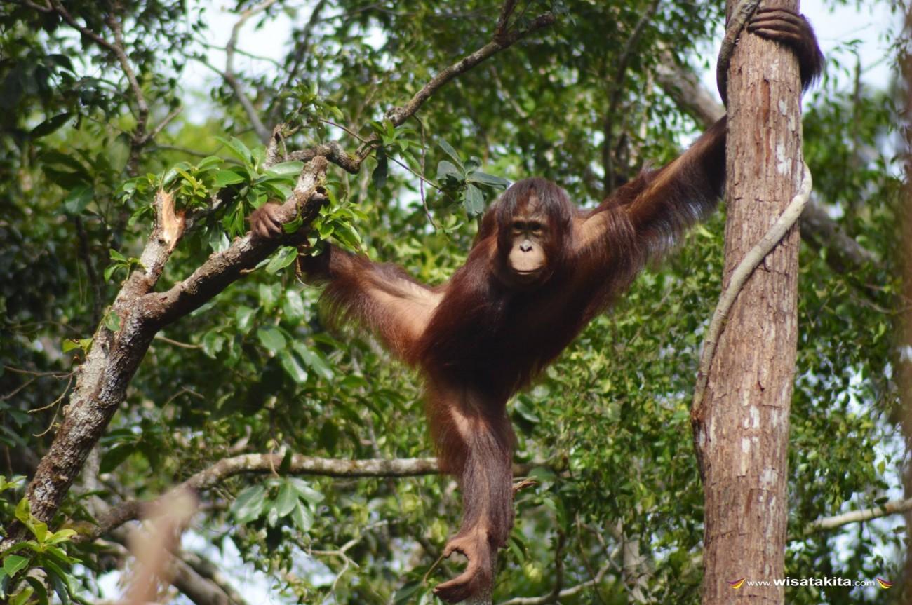 Orangutan Taman Nasional Tanjung Puting